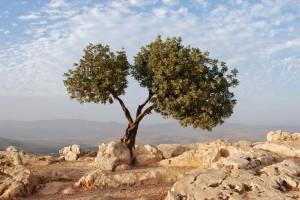Israel_Tree-1024x685